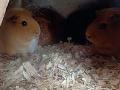 Guinnea-Pigs